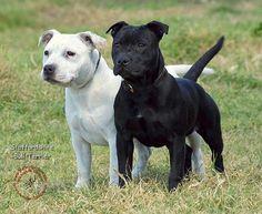 Staffordshire Bull Terrier 9P033D-100.JPG