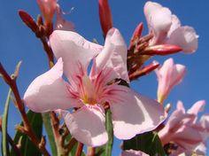 OLEANDER HAUS  Nerium Oleander Gotsis Atlantis Rose Bay, Nerium, Atlantis, Sweet, House
