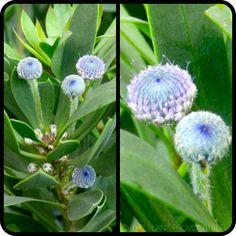 Globularia x indubia foliage + bud