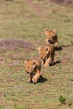 Lion babies by Patrick Hess.