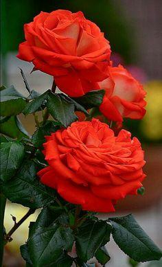 Lindas rosas shared by Joao Bomfim on We Heart It Beautiful Rose Flowers, Amazing Flowers, Beautiful Gardens, Beautiful Flowers, Pretty Roses, Love Rose, White Peonies Bouquet, Peony Bouquet Wedding, Orange Rosen