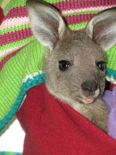 This is Heidi, a one-year old orphaned Eastern grey kangaroo that's been rescued by the awesome people of Wildhaven St. Andrews in Australia