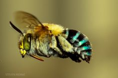 Scientific Scribbles » A buzz about Australian native bees