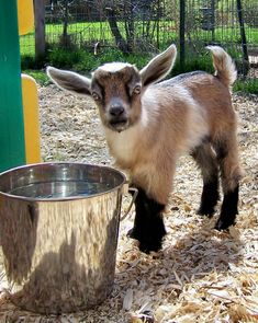 my favorite goat breeder ... and this is a pic of one of my boys when he was a baby!