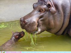 Baby Hippo With Mother Glossy Poster Picture Photo Hippopotamus Africa River 409 Happy Animals, Cute Baby Animals, Animals And Pets, Funny Animals, Wild Animals, Animal Babies, Vida Animal, Mundo Animal, Baby Animals Pictures