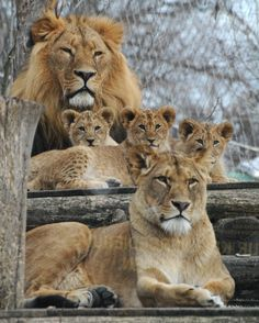 If you Love Lions, You Must Check The Link In Our Bio 🔥 Exclusive Lion Related Products on Sale for a Limited Time Only! Tag a Lion Lover! 📷:Please DM . No copyright infringement intended. All credit to the creators. Zoo Animals, Animals And Pets, Funny Animals, Cute Animals, Big Cats, Cool Cats, Cats And Kittens, Lion Pictures, Animal Pictures