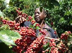Coffee Latte Art, Coffee Farm, Coffee Time, Horticulture, Kenya, Safari, Tourism, Fruit, Farming