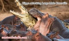 Hi Friends! Watch This Video. Hippo Attacking Large Male Crocodile