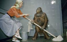 Senhor Jiggs, um orangotango de seis anos, era capaz de usar o esfregão no zoológico de Londres