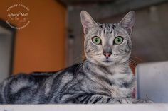 Cartoon Cat! George was surrendered on Friday and can go to his forever home today if adopted... he's at Renbury Farm Animal Shelter if you are interested and they are open until 4pm today. Isn't he just divine! <3 | by Jo Lyons Photography