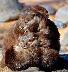 pile of otters. The otter obsession continues. Otters Cute, Baby Otters, Baby Sloth, Cute Baby Animals, Animals And Pets, Funny Animals, My Spirit Animal, My Animal, Otter Love