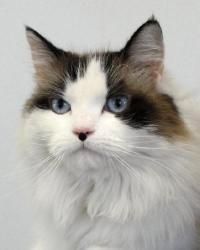 Annie is an adoptable Ragdoll Cat in San Antonio, TX. I am a stunning beauty with long, soft fur. I am very sweet and a little feisty as well. I would love a quiet home where I can roam, relax and spe...