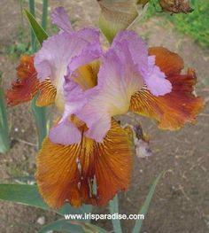 TB Iris 'Attrazione Fatale' (Bianco, 2006)