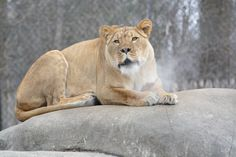 Lioness mothers will nurse all cubs in their pride regardless of if they are their own cubs are not. http://ift.tt/1QsMNqm