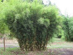 Fargesia robusta_ATTENTION:  Most of the bamboo on this page prefer afternoon shade.          For areas of USA such as the Midwest, Northeast, and East Coast,  Hardy Clumping Bamboo require dappled sun to full shade or no more than a few hours of direct morning sun. On the West Coast they can tolerate more sunlight, especially in mild coastal climates of the Pacific Northwest.