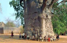amazing african tree | Baobab Tree in South Africa, image courtesy of wikipedia