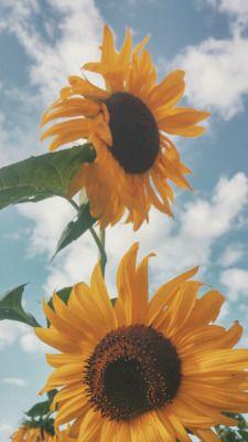 Van Gogh Lockscreen Tumblr Sunflower Wallpaper Sunflower Pictures Sunflower Photography