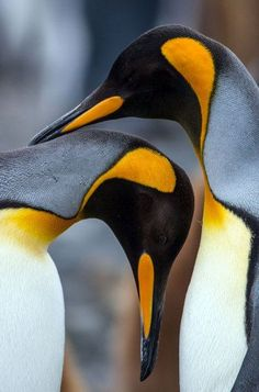 """This article will answer the question """"what do emperor penguins eat?"""" both in the wild and in captivity. It will also show you some remarkable facts about this wonderful bird species. Penguin Day, King Penguin, Penguin Love, Penguin Craft, Animals Of The World, Animals And Pets, Baby Animals, Cute Animals, Colorful Animals"""