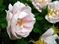 Rosa 'Papula'
