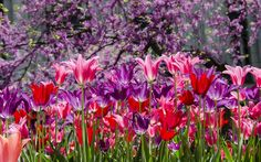 tulip pictures desktop, 989 kB - Brand Smith