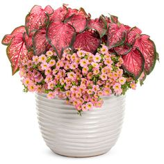 One of Laura's top annuals, Heart to Heart™ 'Scarlet Flame' Caladium, is planted here with Superbells® Honeyberry™ Calibrachoa. Caladiums work great as a centerpiece in your container garden. What you may not know is they also make unique houseplants to enjoy all year long. There's still time to order yours from Proven Winners online site today!  #hearttoheartcaladium #caladiums #provenwinners #superbellshoneyberrycalibrachoa #hearttoheart #superbellshoneyberry #houseplants #gardenanswers