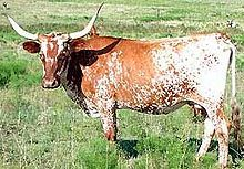Cattle - Wikipedia, the free encyclopedia
