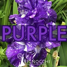 Purple: Royalty and Nobility Represents wisdom Can help with Peace and Pride It also is associated with creativity, which is maybe why we love this Iris so much. Pair this with the 'Mauna Loa' orange daylily and get a massive color pop in your garden. Mauna Loa, Day Lilies, Color Pop, Landscape, Purple, Iris, Creative, Garden, Plants