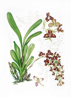 Blumen II on Pinterest | Botanical Illustration, Fruit Painting and Flower Paintings