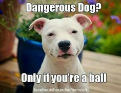 """PITBULLS ARE NOT """"VICIOUS"""" OR """"MEAN"""" OR NATURALLY UNFRIENDLY. THE OWNER DETERMINES HOW THE DOG IS."""
