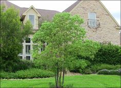 A fast growing, dense, shade-producing tree that grows to a moderate height, the Camphor Tree looks great in any Texas landscape design where a lush appeal is desired.