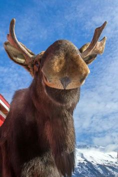 What a great way to start the morning🌞 Moose Deer, Bull Moose, Moose Art, Moose Pictures, Wild Animals Pictures, Animals And Pets, Funny Animals, Cute Animals, Majestic Animals