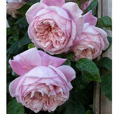 'Spirit of Freedom' David Austin Rose All Flowers, My Flower, Pretty Flowers, Cactus Flower, Exotic Flowers, Purple Flowers, Colorful Roses, Romantic Roses, Beautiful Roses