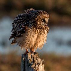Short Eared Owl - zoltán kovács - Google+