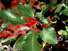 """Chinkapin Oak or Chinquapin Oak  Quercus muehlenbergii   Fagaceae (white oak group)  is an attractive large shade tree 70' X 70' suitable for use in much of Texas. Its distinctive 4"""" to 6 1/2"""" saw-tooth leaves, are a rich green, turning yellow to bronze in fall. It grows in the wild on well-drained bottomland soils and limestone hills near water."""