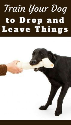Teach your dog to 'drop it' and 'leave it' by following these simple instructions. Not just a trick, it can keep your belongings and your dog a lot safer. via @KaufmannsPuppy