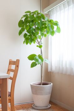 フィカス・ウンベラータ - 観葉植物(インテリアグリーン)通販、植え替え・メンテナンス | Regalo Potted Trees, Potted Plants, Indoor Plants, Green Garden, Green Plants, Ficus, Indoor Garden, House Plants, Planting Flowers
