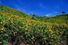 พฤศจิกายน  ดอยแม่อูคอ ขุนเขาแห่งทุ่งบัวตอง ทะเลดอกไม้สีทอง จ.แม่ฮ่องสอน    เมื่อ ลมหนาวเดือนพฤศจิกายนพัดมา นั่นเป็นสัญญาณธรรมชาติว่าดอกบัวตอง ดอยแม่อูคอจะพากันออกดอกสะพรั่งทั้งดอยดั่งทะเลดอกไม้สีทอง ดอยแม่อูคออยู่ในเขต อ.ขุนยวม เป็นแหล่งของดอกบัวตองที่สวยงามที่สุดในเมืองไทย เวลาที่สวยงามที่สุดควรดูในตอนเช้าเมื่อแสงแรกของวันสาดส่อง เพราะสีทองของดอกจะเปล่งประกายเป็นทองมากกว่าเวลาอื่นใด