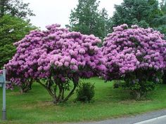 Rhododendron -- Washington state flower (Colleen's Trail Blog)