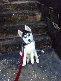 Siberian Husky ~ reminds me of my Snug....oh how I miss him!