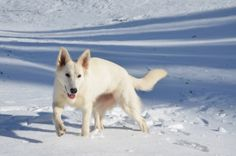 White Shepherd in the snow
