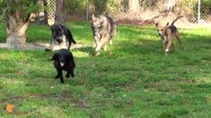 Coming when called, off-leash obedience and impulse control with Klarity, Belle, Shakti and Chopper. This video is about Coming when called,...