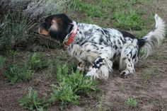 Boykin Spaniel, Springer Spaniel, English Setters, Hunting Dogs, Pointers, Best Dogs, Lemon, Outdoors, Bird
