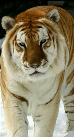 The golden tiger! It's so rare, and beautiful!