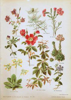 1906 Fleurs Sauvage Eglantine Planche Originale Botanique lithographie peinte à la main Leclerc Sablon plantes feuilles