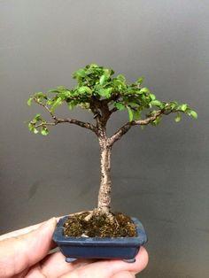張永川 Mame Bonsai, Greenery, Miniature, Plants, Beautiful, Miniatures, Plant, Planets