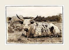 Marlene Neumann captures the beauty of South Africa's Nguni cattle. Characteristic patterned hides reflect the many variations of the African landscape