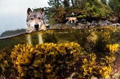 In a remote stretch of rainforest on Canada\u0027s Pacific coast, a unique population of wolves has taken to a life of the sea.