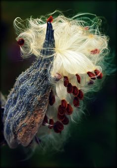Milkweed seeds being released from their pod