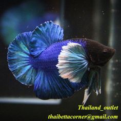 882 Best Betta Fish Pictures Images On Pinterest Betta
