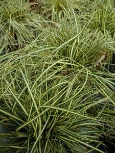 Carex \'Bronze Reflection\' | landscaping ideas | Pinterest ...